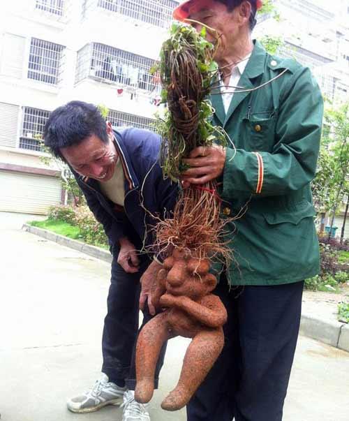 Rễ cây hà thủ ô hình người